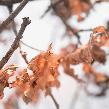 5 Free Oak Leafs Wallpapers
